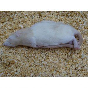 Medium Rat