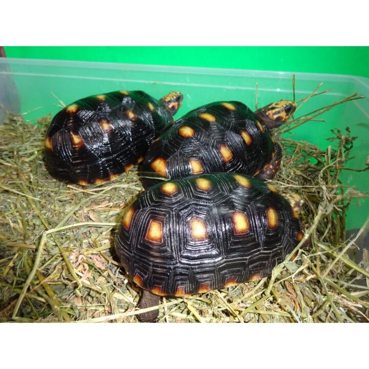 Red Foot Tortoise Venz 4 - 7 inch