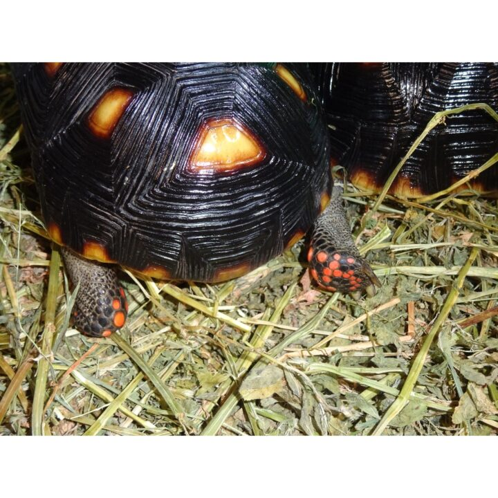 Red Foot Tortoise red foot_