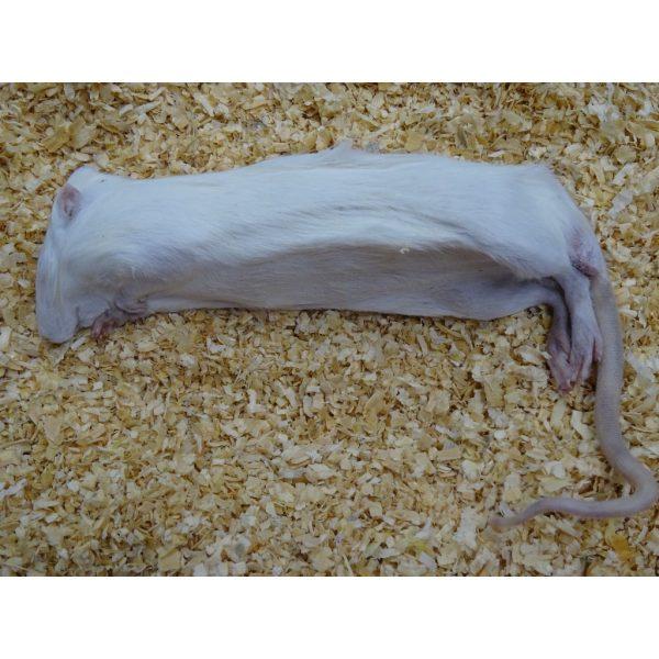 large rat