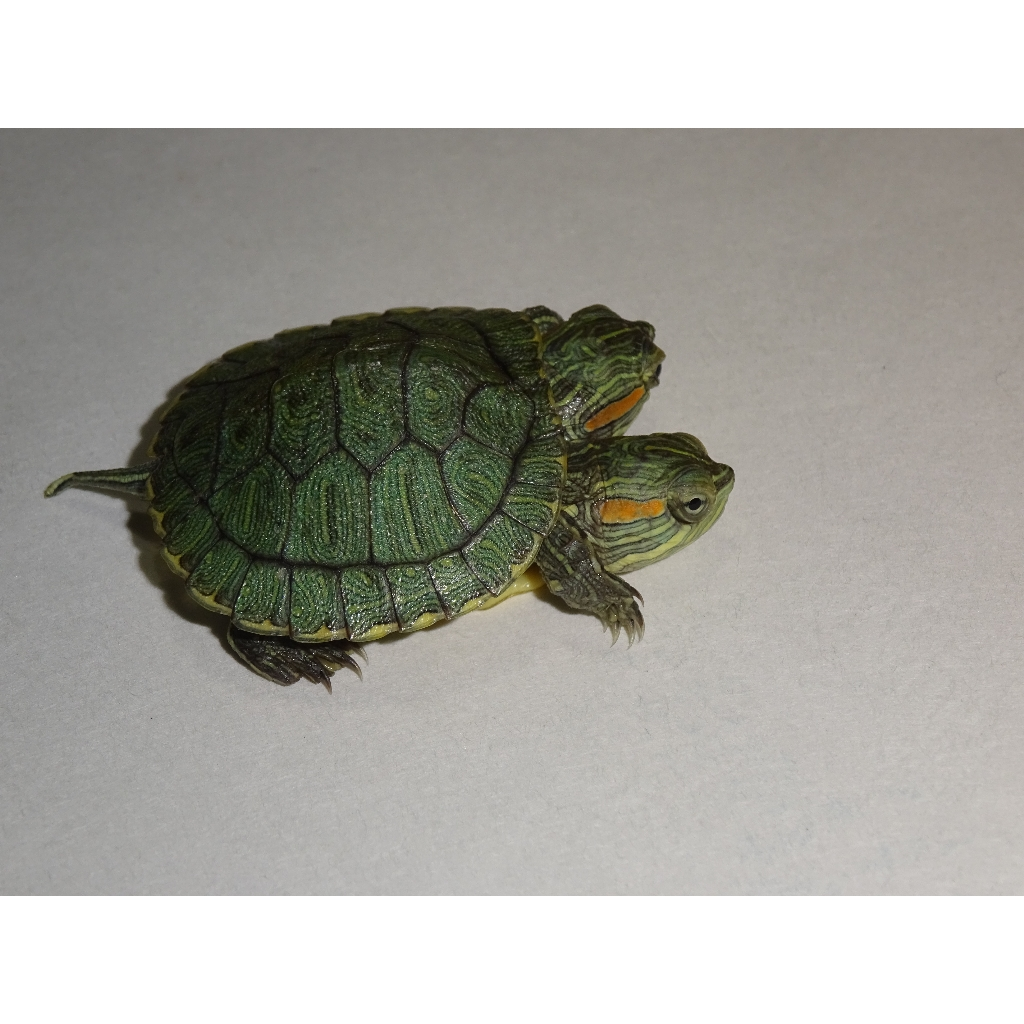 Anti Spam Policy: 2-Headed Red Ear Slider