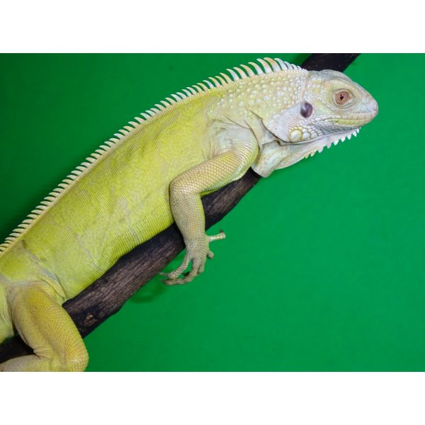 Albino Iguana juv