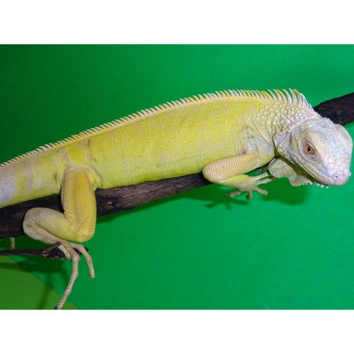 Albino Iguana lemon yellow