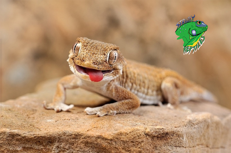 Lizards For Sale Online