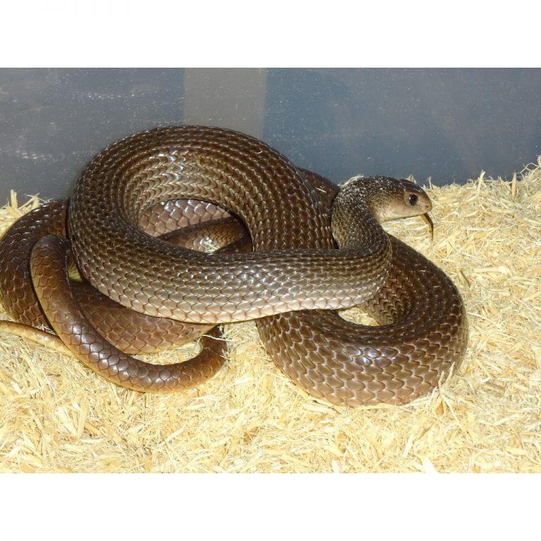 Red Beaked snake 2