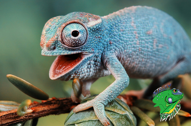 Reptiles for Sale Online - Strictly Reptiles - Wholesale