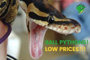 Price of Ball Python