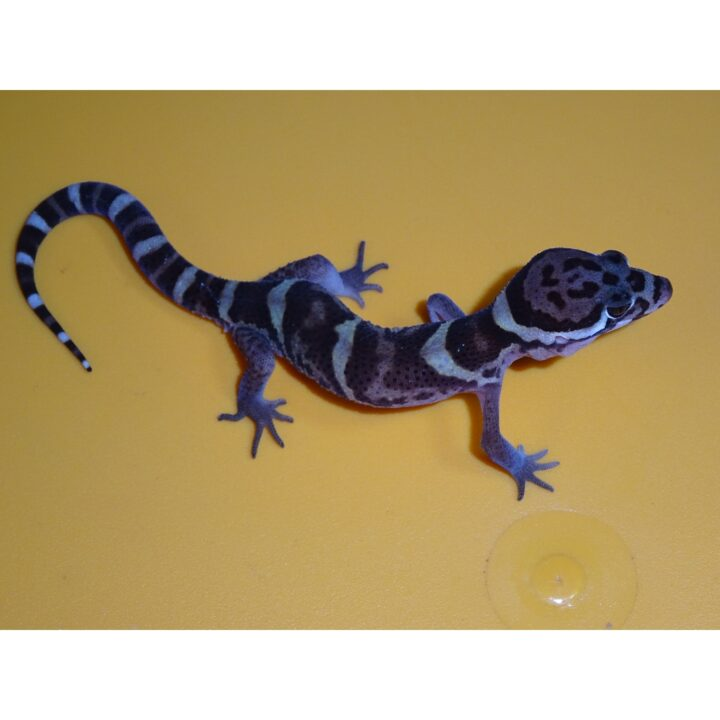 CA Banded Gecko top side