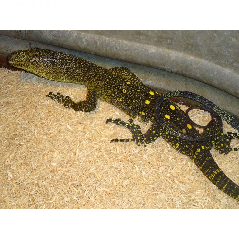 Crocodile monitor 2