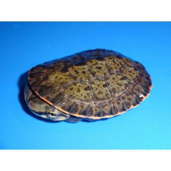 Geoffrey's Sideneck turtle baby