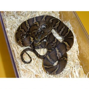 Russian Rat Snake baby