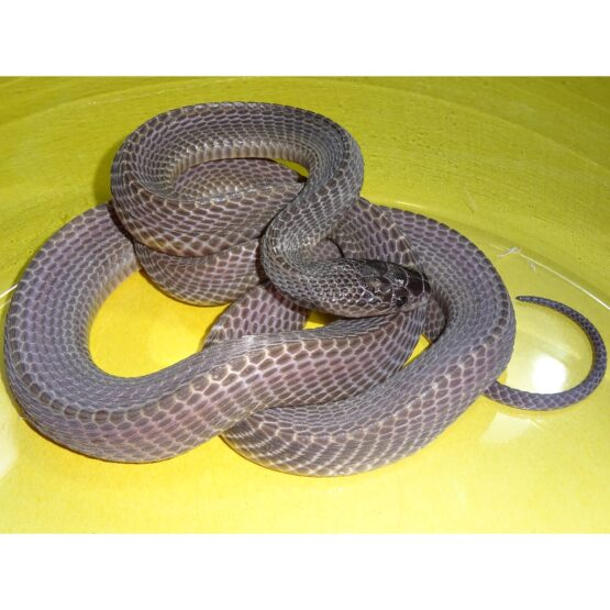 West African File Snake