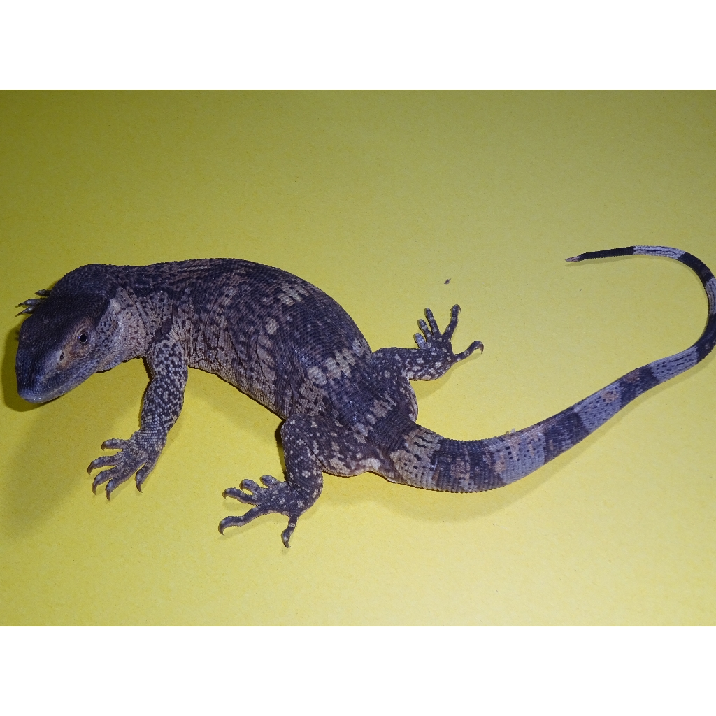 White Throat Monitor Babies To Juveniles Strictly Reptiles