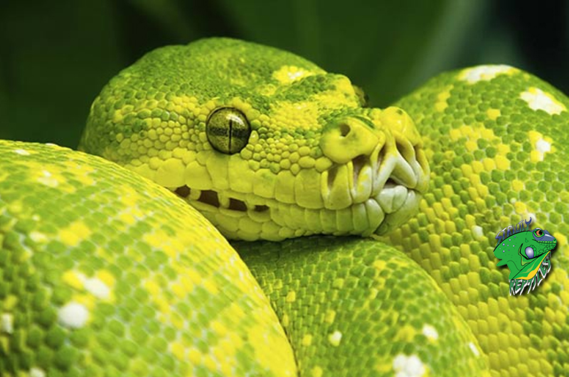 Wholesale Snakes For Sale 2018 | Strictly Reptiles | Online