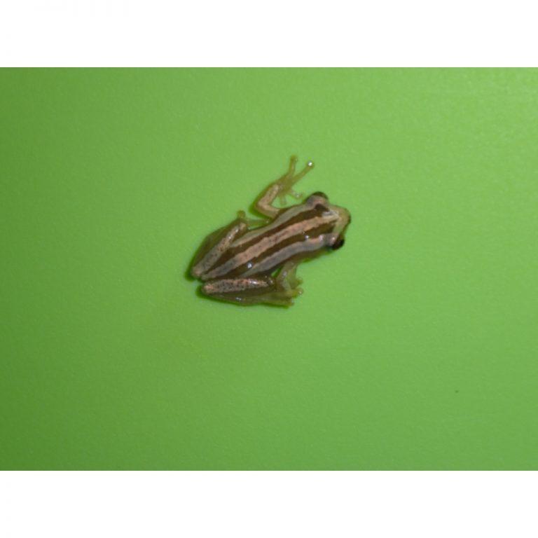 Brown Banana Tree Frog