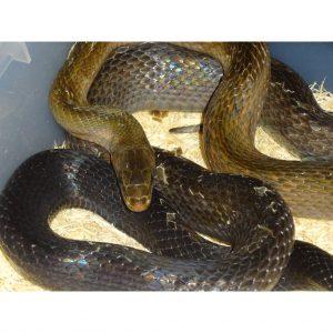 Copper Rat snake face