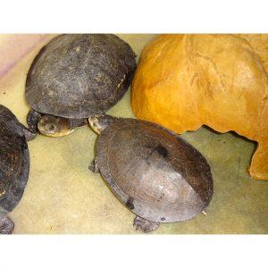 Gibba Turtles