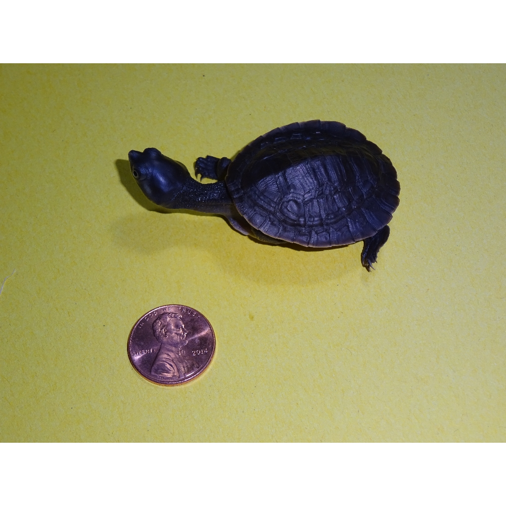 Krefft's River Turtle going