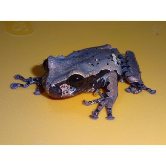 Spiny Head Tree Frog face