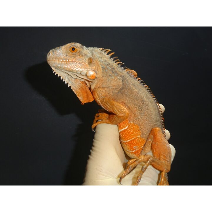 Super Red Iguana juvenile