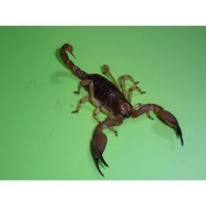 Yellow Leg Burrowing Scorpion