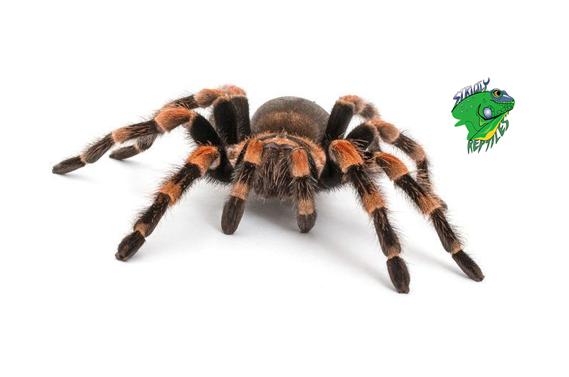 Best Tarantulas for Pets