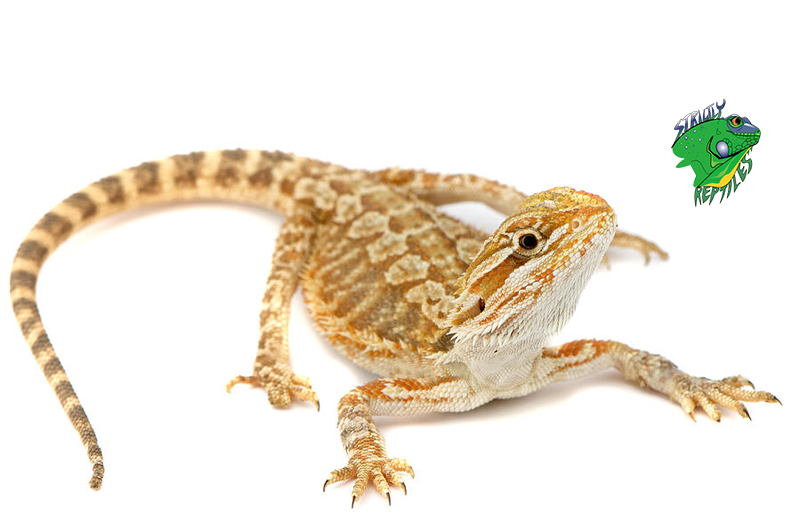 Cheap Bearded Dragons For Sale