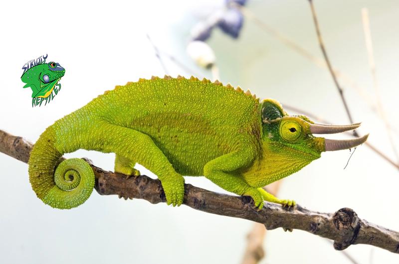 Exotic Lizards Online 2018