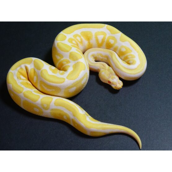 Albino Spot Nose male 255g