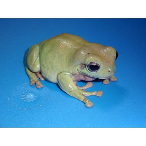 Anti Spam Policy: Australian White's Tree Frog