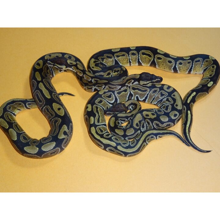 Ball Python juveniles feeders