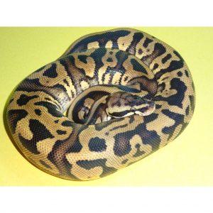 Pastel Leopard male 320g