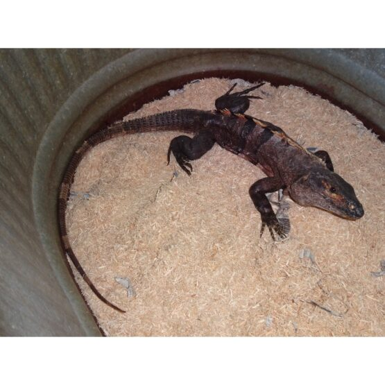 Spinytail Iguana adult full
