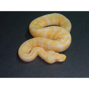 Albino Pastel