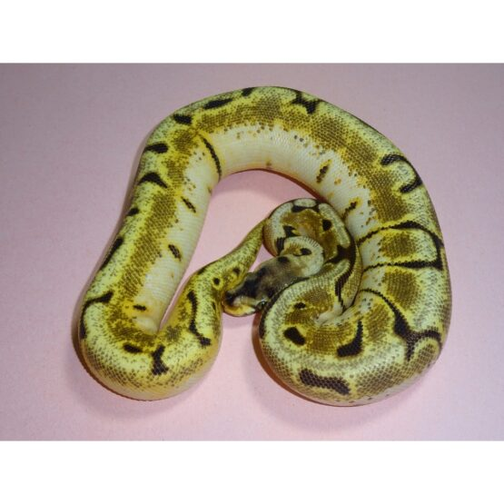 Enchi Bumble Bee female
