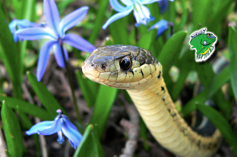Buy Snakes Online | Live Snakes For Sale | Wholesale Snake