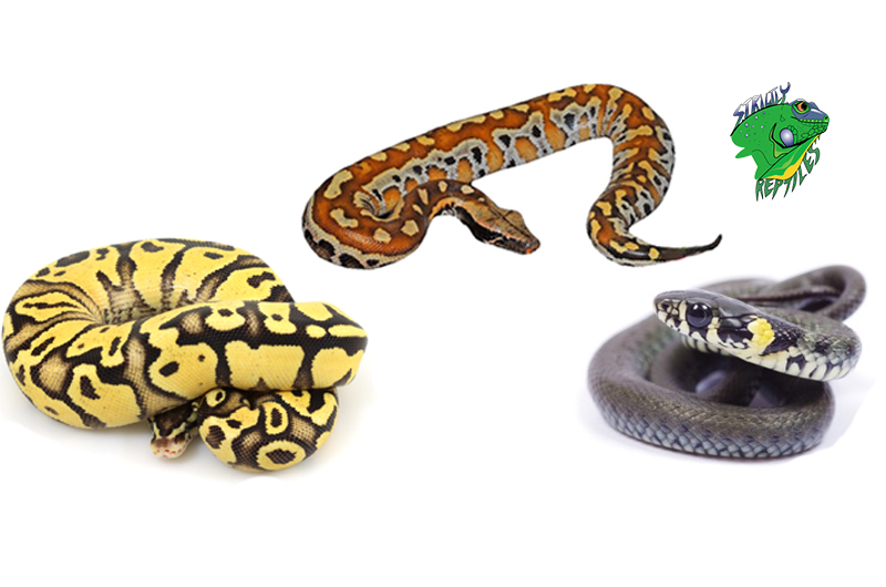 Live Snakes For Sale Wholesale | Buy Snakes Online Wholesale