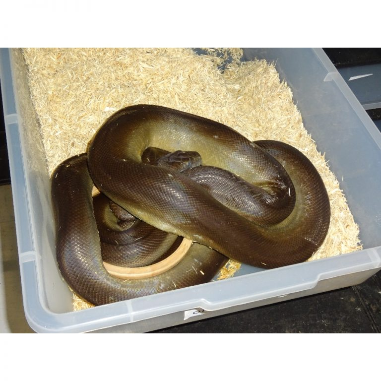 Olive Python 8 to 9 foot