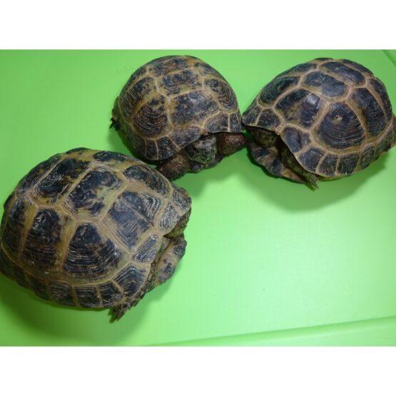 Russian Tortoises 4 to 5 inch