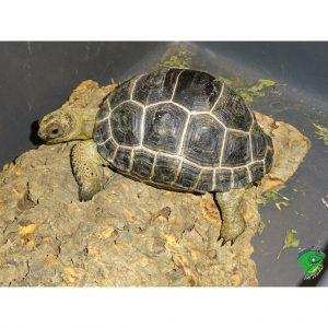 Aldabra 4 inch