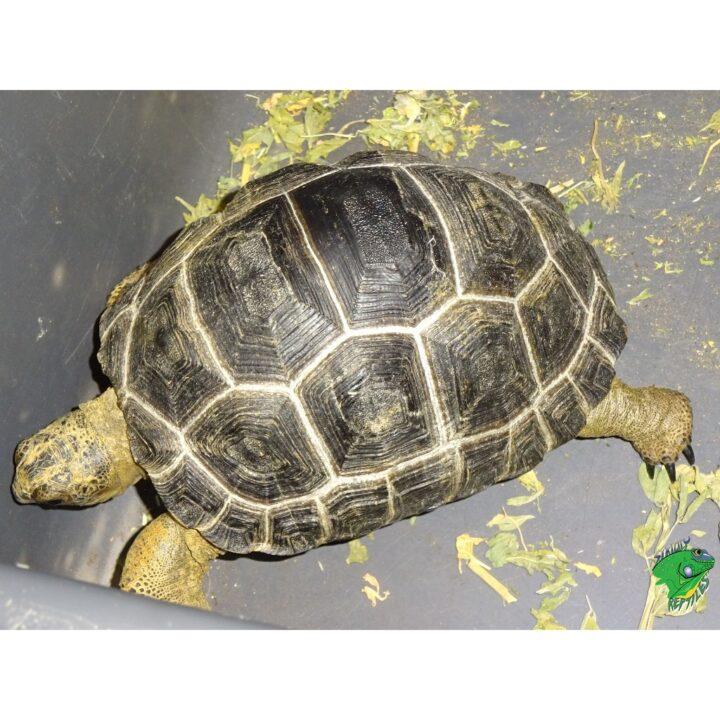 Aldabra Tortoise 4 inch runs