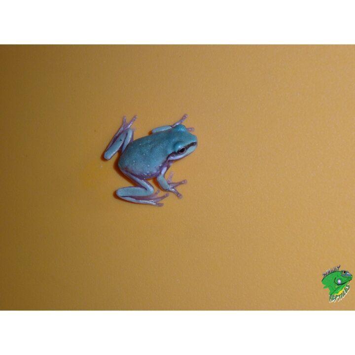 Aust White Tree Frog baby