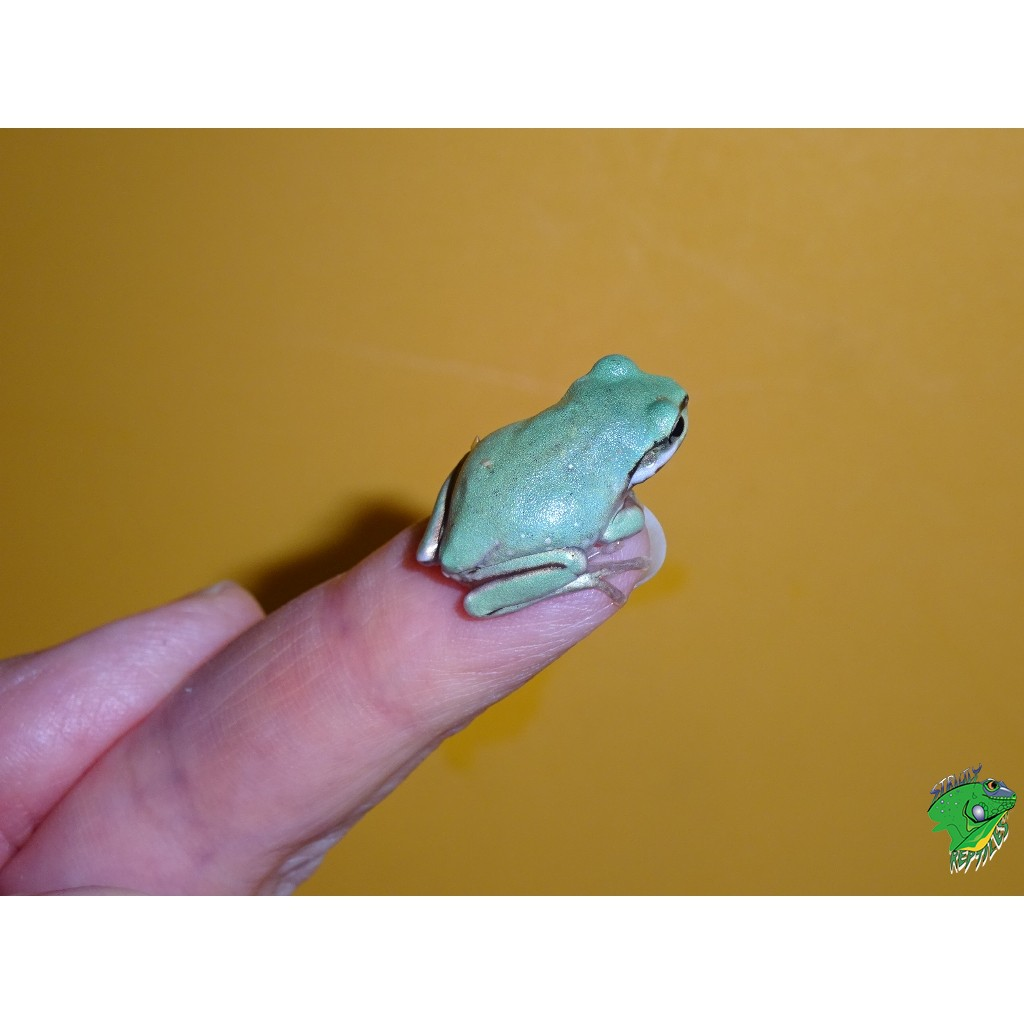 Australian White\'s Tree Frog(Blue) - babies - Strictly Reptiles