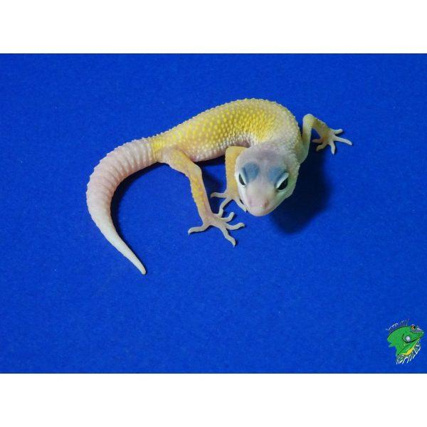 Blizzard Leopard Gecko baby