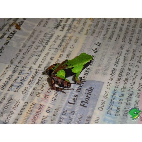 Green N Black Mantella