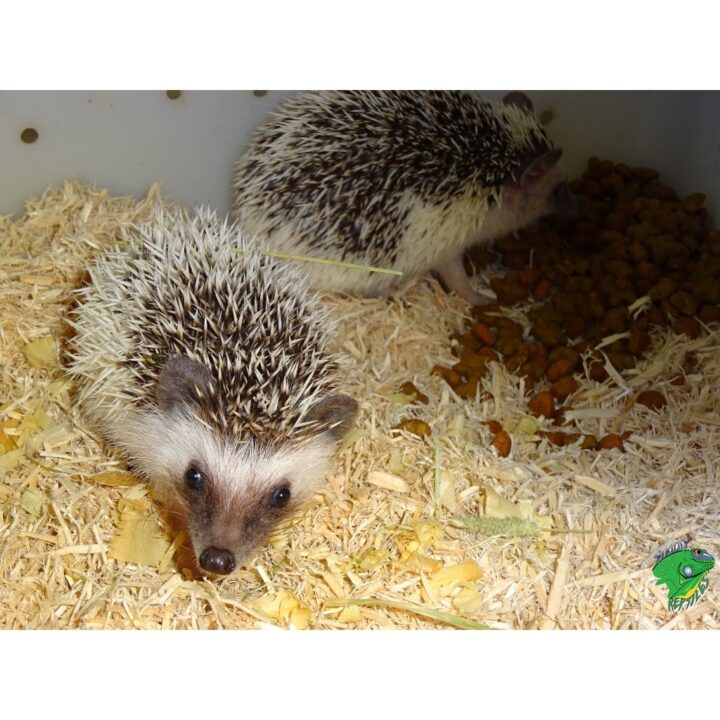 Hedge Hog babies