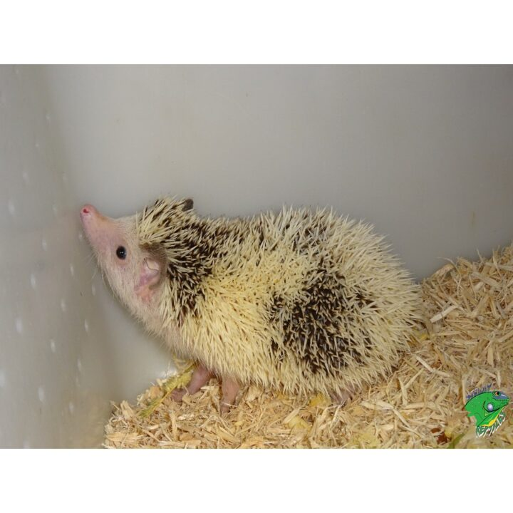 Hedge Hog baby up