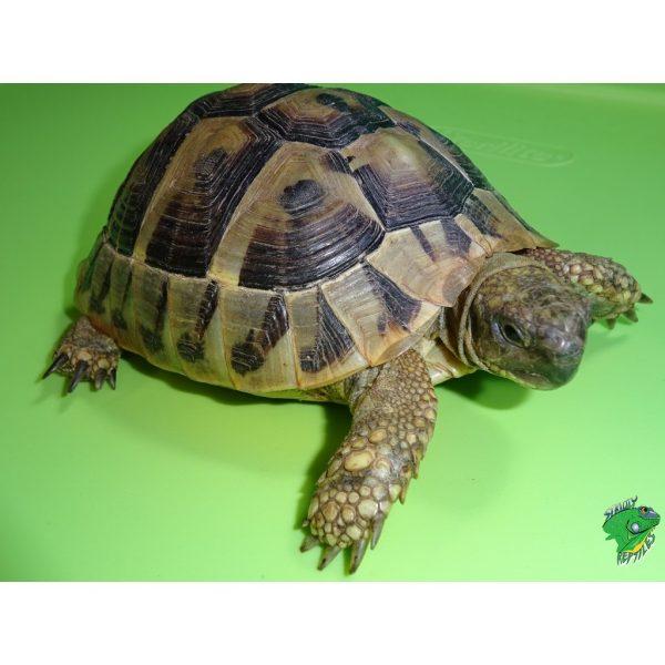 Herman's Pet size up close