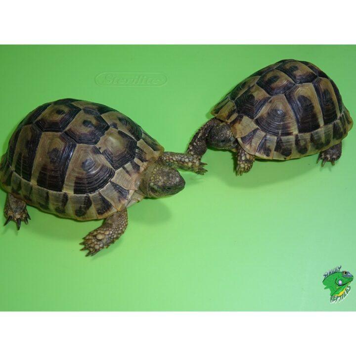 Herman's pet size varies