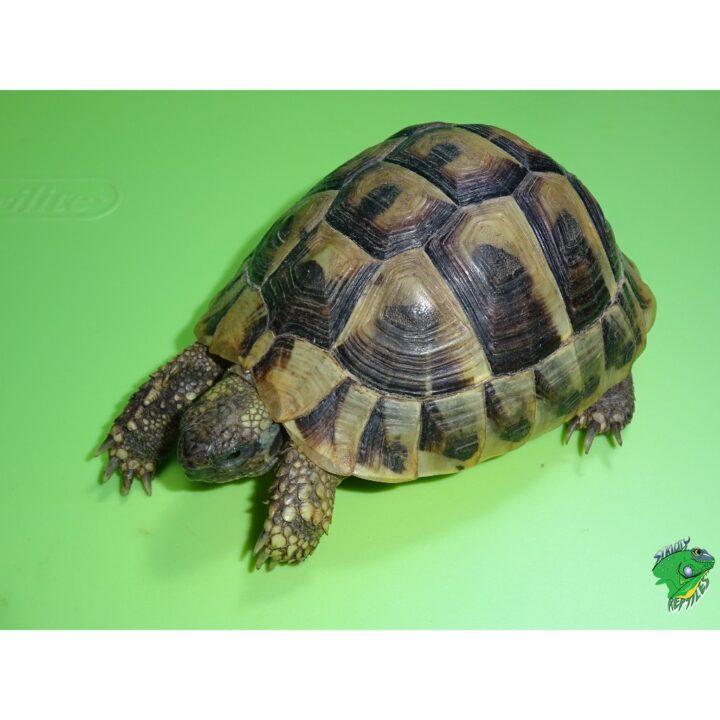 Hermans pet size